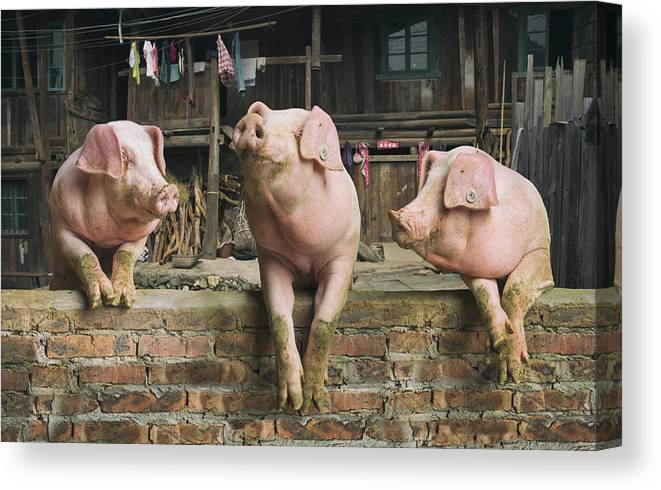Pig Canvas Print featuring the photograph Three Pigs Having A Chat In A Remote by Mediaproduction