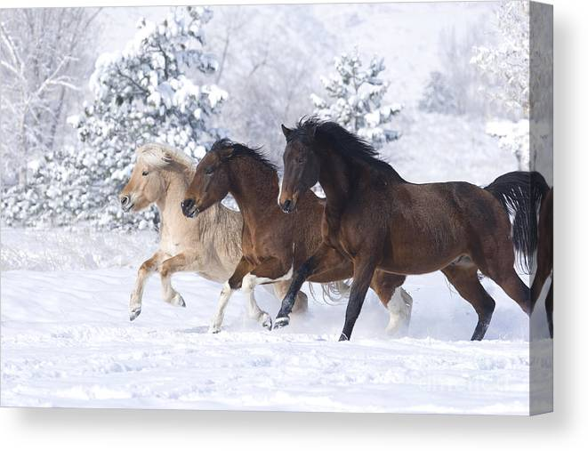 Horse Canvas Print featuring the photograph Three Snow Horses by Carol Walker