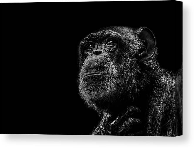 Chimpanzee Canvas Print featuring the photograph Trepidation by Paul Neville