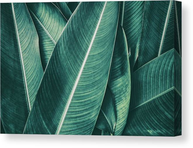 Spa Canvas Print featuring the photograph Tropical Palm Leaf, Dark Green Toned by Pernsanitfoto