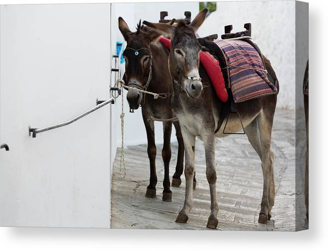 Working Animal Canvas Print featuring the photograph Two Donkeys Tethered In The Street In by Martin Child
