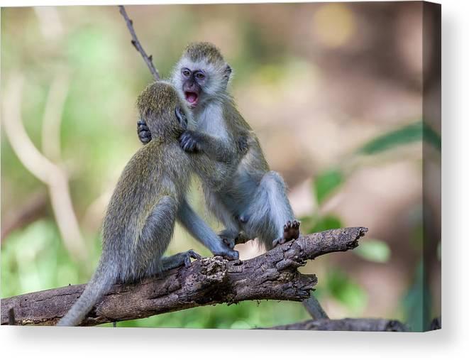 Two Juvenile Vervet Monkey Canvas Print Canvas Art By James Heupel