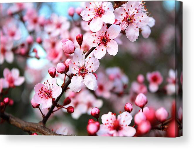 Cherry Blossom Canvas Print featuring the photograph Virginia Cherry Blossom by Candice Trimble