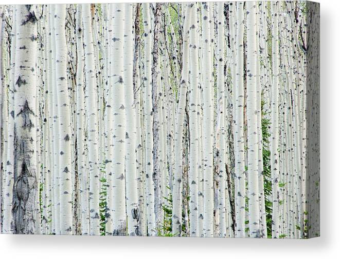 Scenics Canvas Print featuring the photograph White birch tree forest by OGphoto