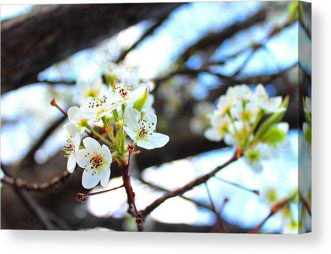 Cherry Blossom Canvas Print featuring the photograph White Cherry by Candice Trimble
