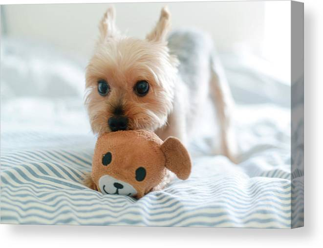 Pets Canvas Print featuring the photograph Yorkie Playing With Teddy Toy by Cheryl Chan