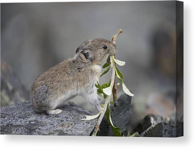 Mp Canvas Print featuring the photograph American Pika by Michael Quinton