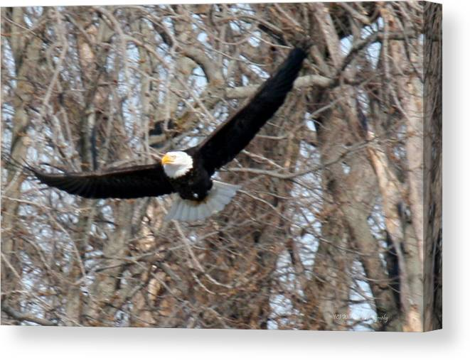 Bald Eagle Canvas Print featuring the photograph Bald Eagle At Full Wingspan by Crystal Heitzman Renskers