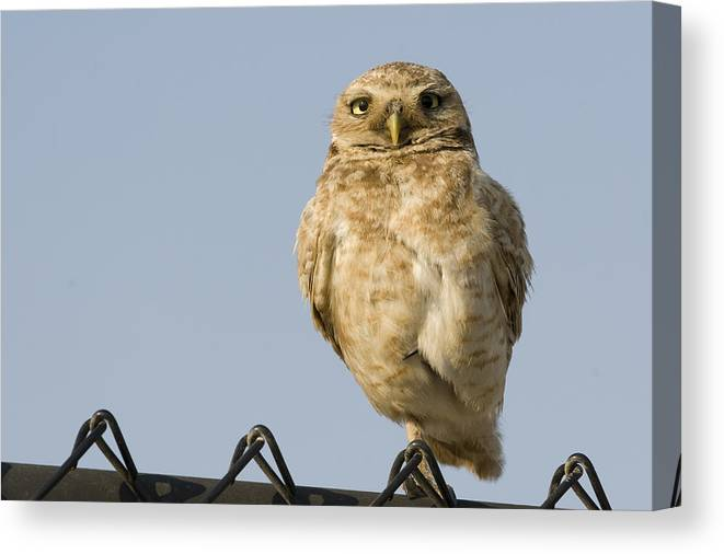00429736 Canvas Print featuring the photograph Burrowing Owl On Fence Alviso California by Sebastian Kennerknecht