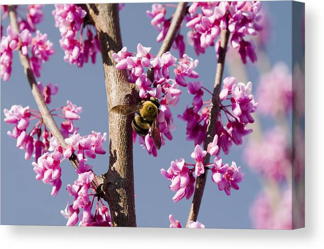 Colorful Spring Blooming Eastern Redbud Tree And Pollenating