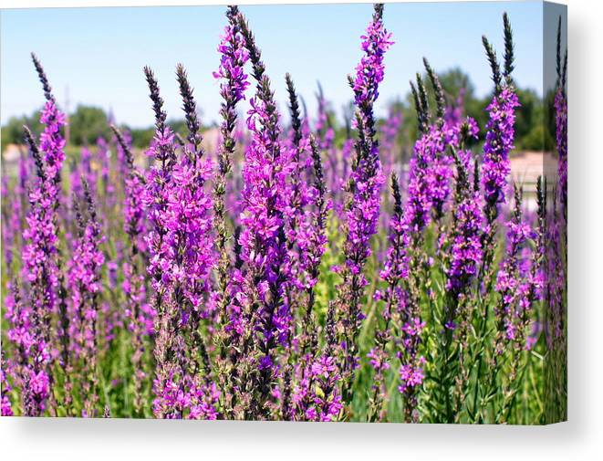 Flower Canvas Print featuring the photograph Lavender by Bj Hodges