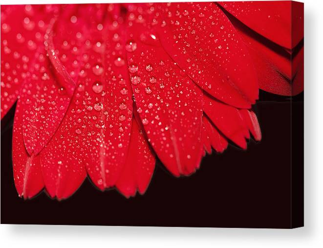 Water Canvas Print featuring the photograph Misty Petals by Katherine Morgan