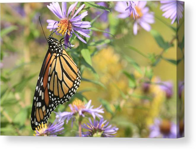 Butterflies Canvas Print featuring the photograph Monarch profile one by Alan Rutherford