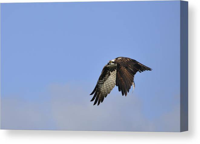 Osprey Canvas Print featuring the photograph Osprey On The Move by Christine Stonebridge