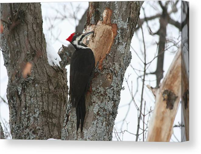 Bird Canvas Print featuring the photograph Pileated Woodpecker by Dr Carolyn Reinhart