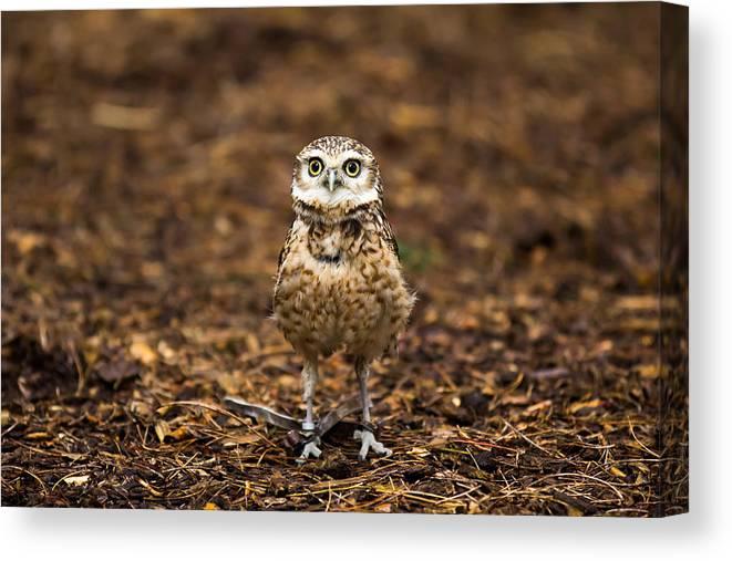 Startled Burrowing Owl Canvas Print Canvas Art By Alexturton