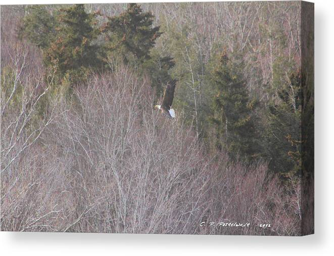 Bald Eagle Canvas Print featuring the photograph WV Bald Eagle by Carolyn Postelwait