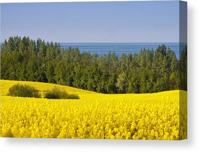 Canola Canvas Print featuring the photograph Yellow Blue Green by Andy Bitterer