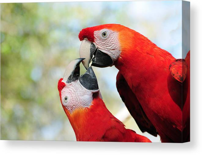 Bird Canvas Print featuring the photograph Macaws by Steven Sparks