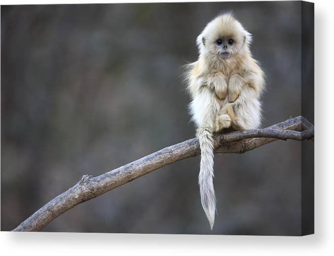 Mp Canvas Print featuring the photograph Golden Snub-nosed Monkey by Cyril Ruoso