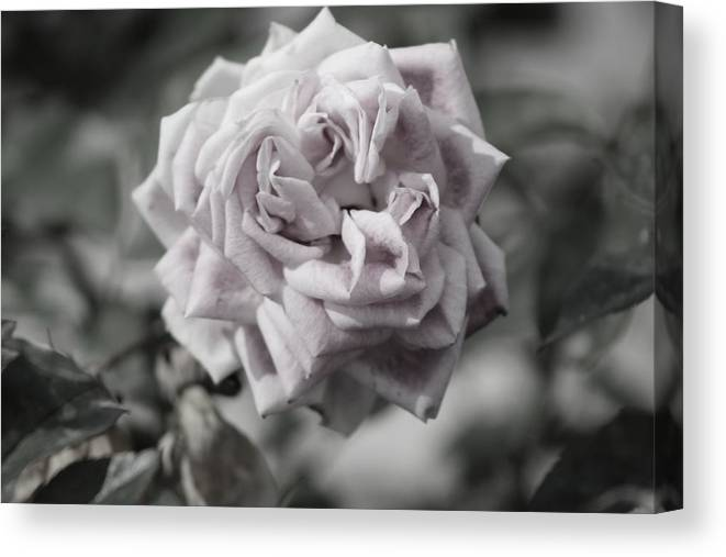 French Canvas Print featuring the photograph A French Manicure Almost Black and White Pale Pink Rose Photograph by Colleen Cornelius