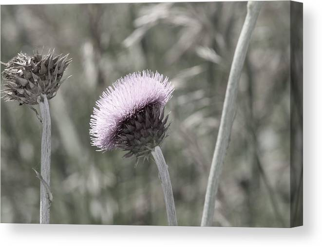 Thistle Canvas Print featuring the photograph Almost Black And White Pale Purple Thistle Flower Photograph by Colleen Cornelius