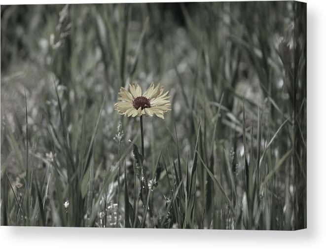 Yellow Daisy Canvas Print featuring the photograph Almost Black and White Yellow Daisy in Field Photograph by Colleen Cornelius