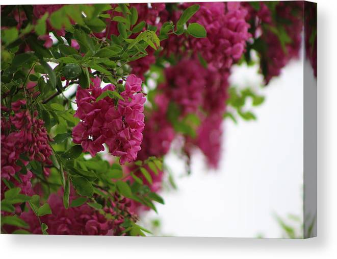 Amaranth Canvas Print featuring the photograph Amaranth Pink Flowering Locust Tree in Spring Rain by Colleen Cornelius