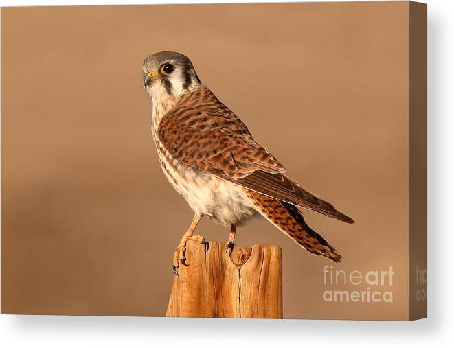 Kestrel Canvas Print featuring the photograph American Kestrel Surveying The Surroundings by Max Allen