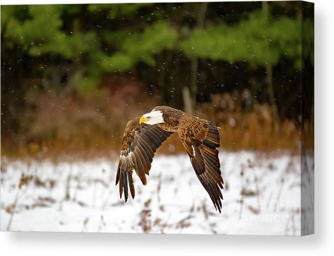 Bald Eagle Canvas Print featuring the photograph Bald Eagle In Snowstorm by CJ Park