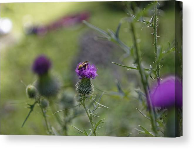 Autumn Canvas Print featuring the photograph Bee Visiting Roadside Thistle by Adrian Bud