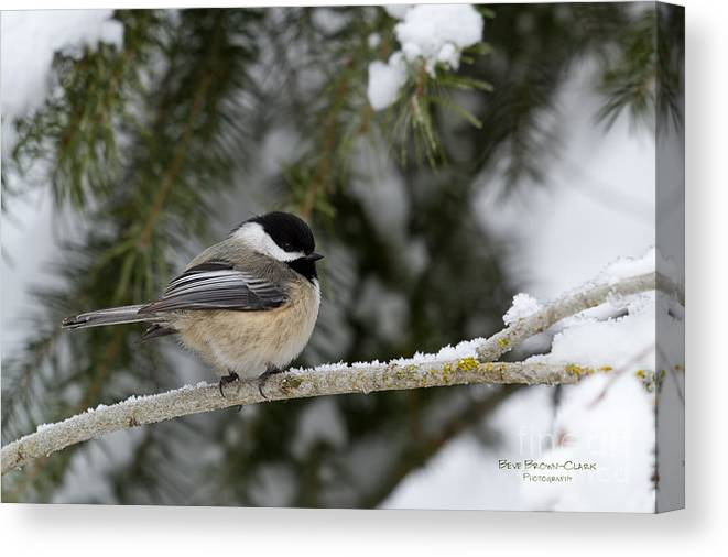 Chickadee Canvas Print featuring the photograph Black-capped Chickadee by Beve Brown-Clark Photography
