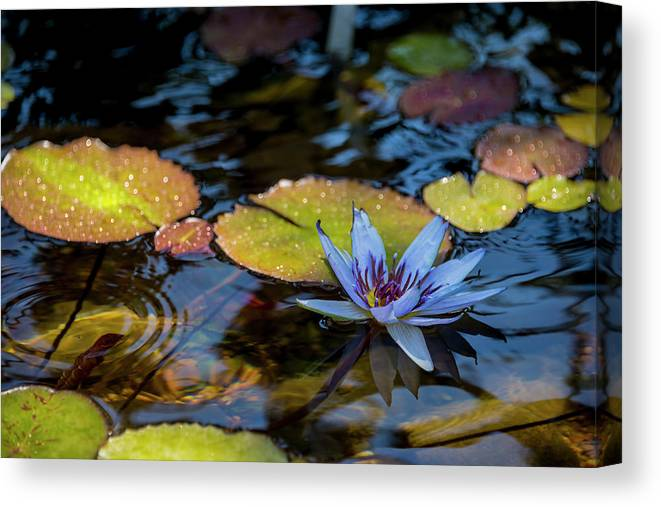 Blue Water Lily Flower Pond Canvas Print featuring the photograph Blue Water Lily Pond by Brian Harig