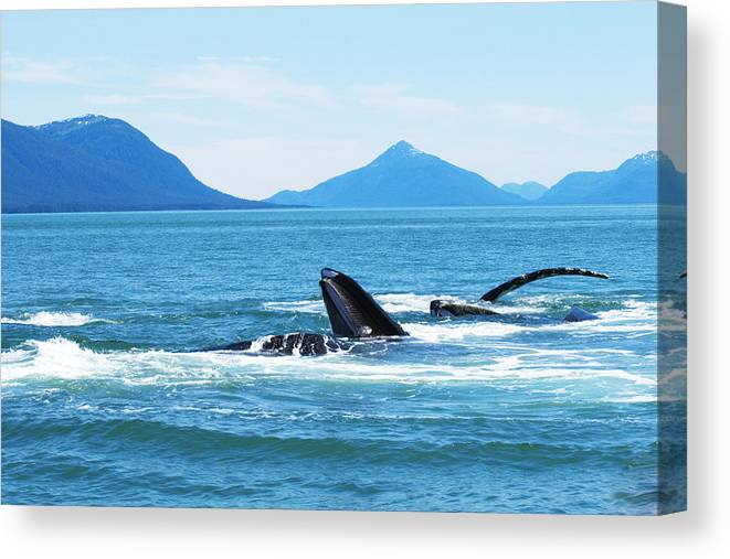 Humpback Whales Canvas Print featuring the photograph Bubble Net Feeding by Richard Henne