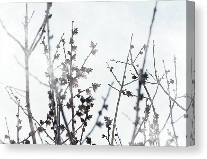 Xenon Blue Canvas Print featuring the photograph Budding Tree in Xenon Blue Misty Morning by Colleen Cornelius