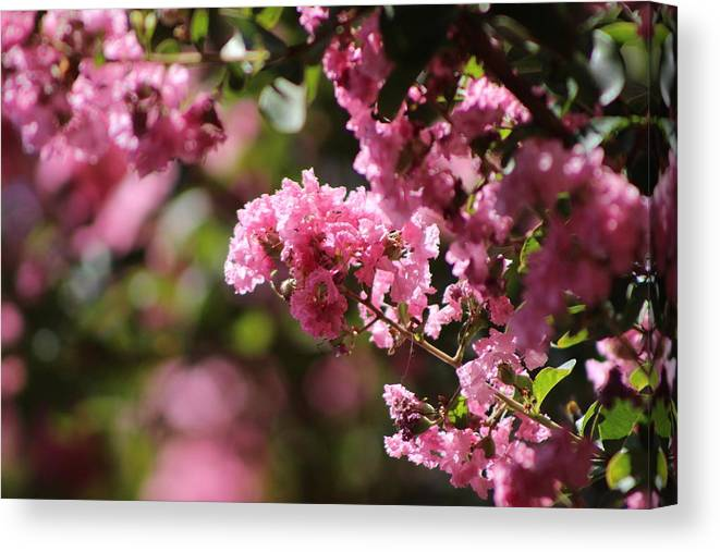 Chateau Rose Canvas Print featuring the photograph Chateau Rose Pink Flowering Crepe Myrtle by Colleen Cornelius