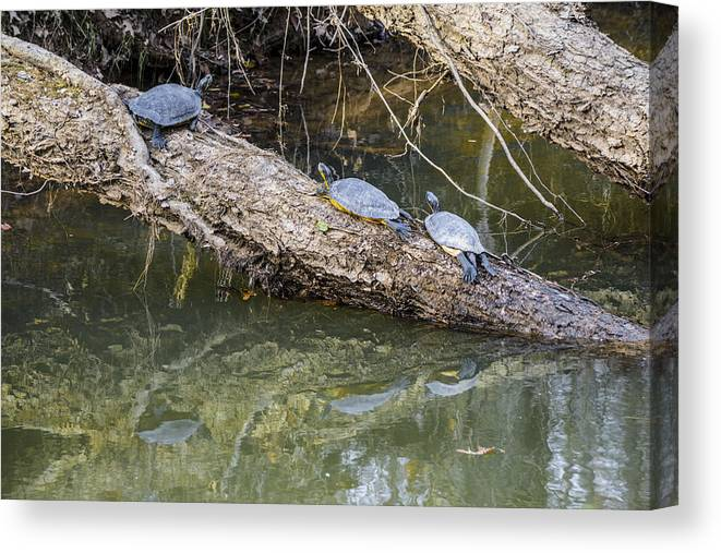 Turtles Canvas Print featuring the photograph Chilling Turtles by William Hall