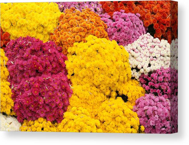 Flowers Canvas Print featuring the photograph Colorful Mum Flowers Fine Art Abstract Photo by James BO Insogna