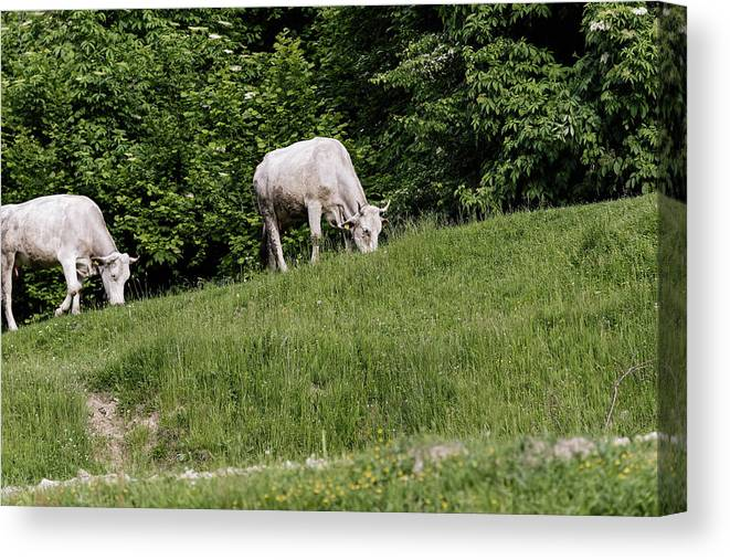 Agriculture Canvas Print featuring the photograph Cows grazing on the edge of mountain road by Adrian Bud