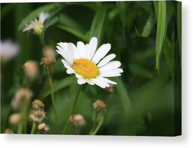 Wild Flowers Canvas Print featuring the photograph Daisy One by Alan Rutherford