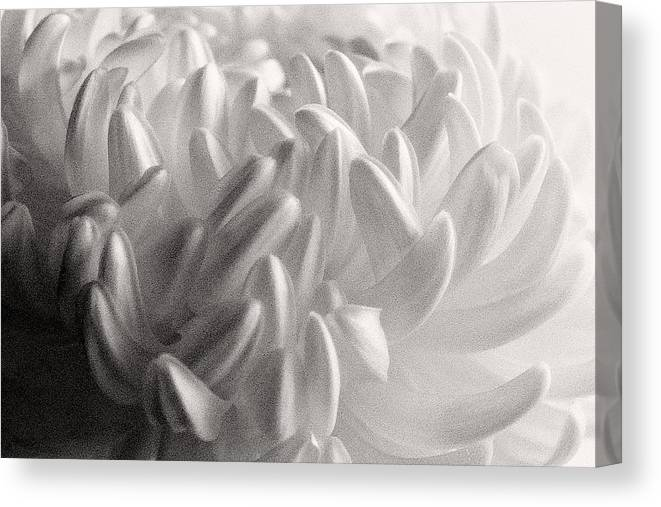 Nature Canvas Print featuring the photograph Ethereal Chrysanthemum by Zayne Diamond Photographic