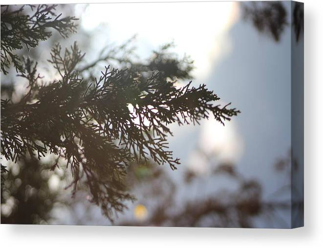 Evergreen Canvas Print featuring the photograph Evergreen in High Sun by Colleen Cornelius