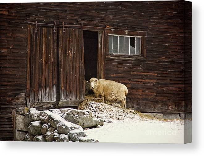 Sheep Canvas Print featuring the photograph Good Morning by Diana Nault