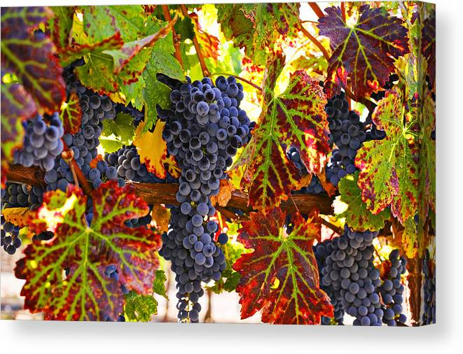 Grapes Canvas Print featuring the photograph Grapes on vine in vineyards by Garry Gay