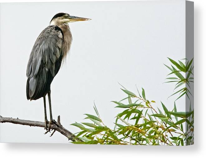 Nature Canvas Print featuring the photograph Great Blue Heron in the Rain by Zayne Diamond Photographic