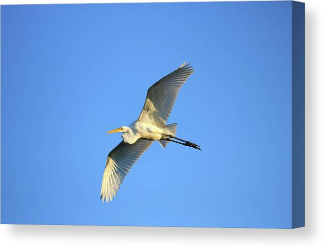 Canvas Print featuring the photograph Great Heron In Flight II by Tony Umana