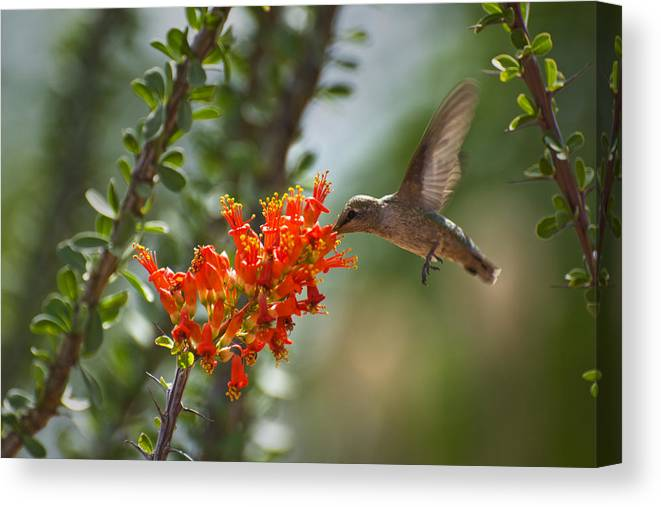 Hummingbird Canvas Print featuring the photograph Hums With Its Mouth Full by Richard Henne
