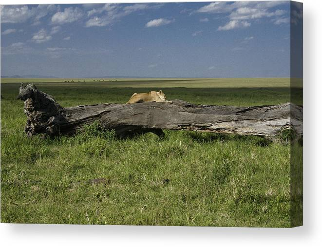 Africa Canvas Print featuring the photograph Lion on a Log by Michele Burgess