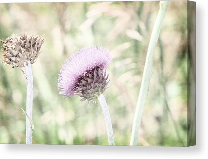 Purple Thistle Canvas Print featuring the photograph Misty Lilac Purple Thistle by Colleen Cornelius