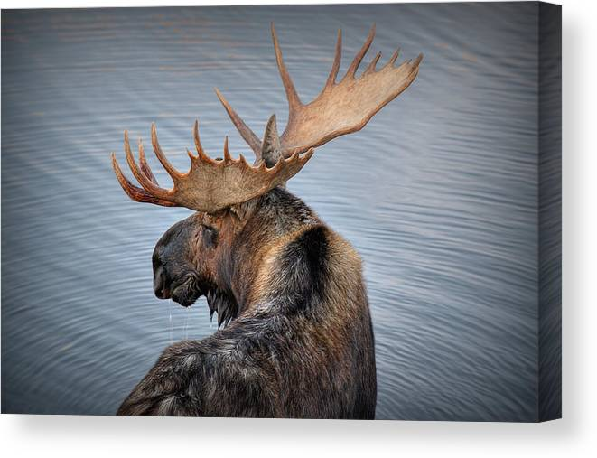 Moose Canvas Print featuring the photograph Moose Drool by Ryan Smith